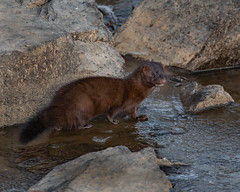 American Mink (ingham_laura) Tags: american mink minks nikon d500 tamron 150600 nature frozen lake galena wildlife hunting winter furry animal environment survival peace valley park center