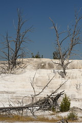 Dead Trees on Desolate White Terraces 1 (Amaury Laporte) Tags: geothermal geothermalfeatures mammoth mammothhotsprings nationalpark nature northamerica usa unitedstates wyoming yellowstone