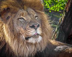 An Ernest Fellow (helenehoffman) Tags: pantheraleo ernest conservationstatusvulnerable felidae sandiegozoosafaripark mammal animal cat lioncamp bigcat africa carnivore lion coth alittlebeauty specanimal coth5