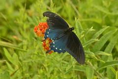 Broken Wing (Renee_ Williams) Tags: butterfly fleeting broken wing nature