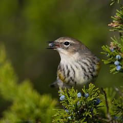 From the side (v4vodka) Tags: bird birding birdwatching animal wildlife nature longisland newyork warbler yellowrumpedwarbler setophagacoronata kronwaldsänger lasowkapstra songbird