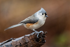 Tufted Titmouse, Eagle Creek Park, Marion County, Indianapolis, Indiana.  December 9, 2019. (Ryan J Sanderson) Tags: indianapolis indiana canon ryan unitedstatesofamerica sanderson 1dx park county creek is eagle mark iii marion ii 600 l f4 tuftedtitmouse eaglecreekpark marioncounty 2019 indianadecember9