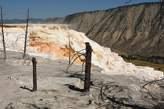 Dead Trees and Canary Spring Terraces 1 (Amaury Laporte) Tags: geothermal geothermalfeatures mammoth mammothhotsprings nationalpark nature northamerica usa unitedstates wyoming yellowstone