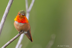 Allen's Hummingbird, Male (OC Birds) Tags: bird california wildlife allenshummingbird nature huntingtonbeach animal