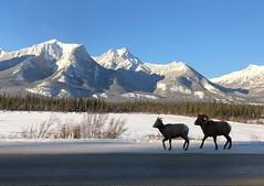 A sunny day in Jasper National Park (peggyhr) Tags: peggyhr carolina'sfarmfriends jasper alberta snow mountains sheep looklevel1red looklevel2yellow