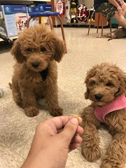 Rylie & Teddy meet back up in puppy school
