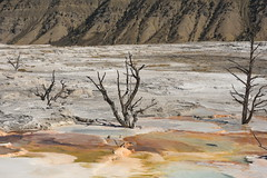 Four Dead Trees in Mammoth Hot Springs 2 (Amaury Laporte) Tags: geothermal geothermalfeatures mammoth mammothhotsprings nationalpark nature northamerica usa unitedstates wyoming yellowstone