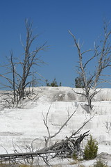 Dead Trees on Desolate White Terraces 2 (Amaury Laporte) Tags: geothermal geothermalfeatures mammoth mammothhotsprings nationalpark nature northamerica usa unitedstates wyoming yellowstone