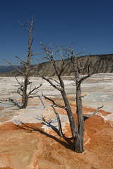 Dead Trees and Mammoth Hot Spring Terraces (Amaury Laporte) Tags: geothermal geothermalfeatures mammoth mammothhotsprings nationalpark nature northamerica usa unitedstates wyoming yellowstone