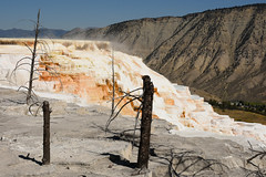 Dead Trees and Canary Spring Terraces 2 (Amaury Laporte) Tags: geothermal geothermalfeatures mammoth mammothhotsprings nationalpark nature northamerica usa unitedstates wyoming yellowstone