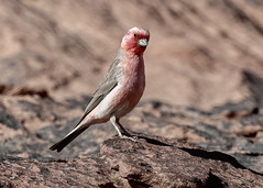 The National Bird of Jordan, Sinai Rosefinch (Carpodacus synoicus), Wadi Rum, Aqaba Governorate, Jordan (MikeM_1201) Tags: sinairosefinch bird animal wildlife nature outdoors desert male wadirum aqaba jordan d500 posed