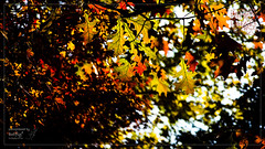 Rolling Color of the Autumn (कलविङ्क) Tags: red golden tree leaf autumn sigmax3