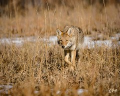 Places to Go (droy0521) Tags: mammal winter wildlife colorado animal cherrycreekstatepark coyote outdoors places