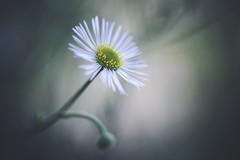 Sweet Lullaby (explored) (Janette Paltian) Tags: janettepaltian sony 7iii 7m3 leica colorplan 90mm projection flower white weis blume nature natur garden garten herbst autumn bokeh dof green grün