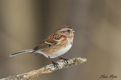 Bruant Hudsonien - American Tree  Sparrow (Lucie.Pepin1) Tags: birds oiseaux bruant sparrow nature wildlife faune fauna luciepepin héritagestbernard canon7dmarkii canon300mml