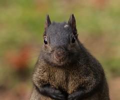 Got peanuts? (Slow Turning) Tags: sciuruscarolinensis blacksquirrel rodent headon face portrait closeup eyecontact autumn fall southernontario canada