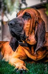 Bloodhound portrait (Fotografía John B) Tags: bloodhound chile edward fujifilm fujinon fujinonxf50140mmf28rlmoiswrlens john johnbankson johnedwardbankson johnb photographer sabueso southamerica ts2 topaz topazlabs topazstudio topazstudio2 xt1 xt2 xf50140mmf28rlmoiswrlens dog fotografia fotografo jaxchile perro photographersonflickr photography portrait retrato ©johnbankson