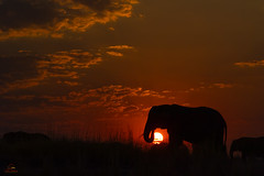 Elephant Golden Hour (Glatz Nature Photography) Tags: africa botswana chobenationalpark choberiver glatznaturephotography nature nikond5 wildanimal wildlife loxodontaafricana elephant africanelephant africanbushelephant sunset silhouette