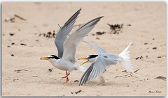 Little Terns squabbling (Bear Dale) Tags: little terns squabbling scientific name sternula albifrons nikkor afs 200500mm f56e ed vr ulladulla southcoast new south wales shoalhaven australia beardale lakeconjola fotoworx milton nsw nikond850 photography framed nature nikon bear d850 bird birds bif flying naturephotography naturaleza sand beach ocean