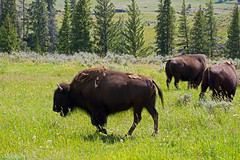 20180722_64a (mckenn39) Tags: nature landscape wildlife yellowstonenationalpark wy bison rockymountains