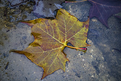 Fallen Leaf (panos_adgr) Tags: winter moods leaves colours nature water moisture textures nikon d850 travel photography