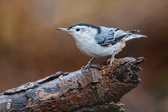 White-breasted Nuthatch, Eagle Creek Park, Marion County, Indianapolis, Indiana.  December 9, 2019. (Ryan J Sanderson) Tags: indianapolis unitedstatesofamerica indiana canon ryan sanderson 1dx park county creek is eagle mark iii marion ii 600 l whitebreastednuthatch f4 eaglecreekpark marioncounty 2019 indianadecember9