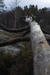 Fallen tree (jannaheli) Tags: suomi finland helsinki laajasalo nikond7200 nature naturetherapy naturephotography naturephotoshooting outdoor visitfinland visithelsinki
