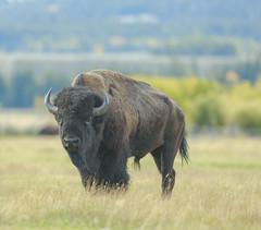 A huge Bioson givin me the proverable stink eye (sharpshooter2011.com) Tags: bison grandtetons tetons buffalo mammal foreboding