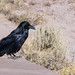 Parking Lot Raven