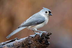 Tufted Titmouse, Eagle Creek Park, Marion County, Indianapolis, Indiana.  December 9, 2019. (Ryan J Sanderson) Tags: indianapolis indiana canon ryan unitedstatesofamerica sanderson park county creek is eagle mark iii marion ii 600 l f4 tuftedtitmouse 1dx eaglecreekpark marioncounty 2019 indianadecember9