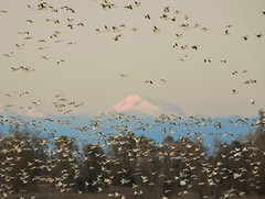 Last light on Mt. Lassen, with snow geese. (Ruby 2417) Tags: mount lassen mountain cascades gray lodge marsh swamp wetland wetlands goose geese wildlife nature white sunset fly flight flying evening alpenglow