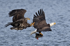 Bald Eagles Battle (Brian E Kushner) Tags: american baldeagle bald eagle fish fishing raptor wings talon beak king flying flight inflight haliaeetusleucocephalus conowingo dam conowingodam darlington md maryland d5 nikond5 bird birds bkushner wildlife animals birdwatcher ©brianekushner nikonafsnikkor800mmf56efledvrlens nikon afs nikkor 800mm f56e fl ed vr lens tc800125e tc800125eed