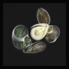 X-ray fusion photo snail shells composition IV (jgokoepke) Tags: xray fusion imagefusion photo snailshell snail shell composition monochrome bw
