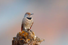 Northern Flicker (X9B_9372-1) (Eric SF) Tags: northernflicker flicker woodpecker coyotehillsregionalpark fremont ca