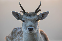 Broken Antlers (andy_AHG) Tags: wildlife winter stag fallowdeerbuck antlers animals nikond300s yorkshire