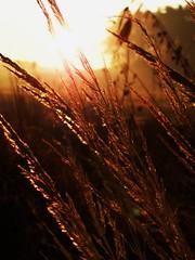 Nature now (bianca 11) Tags: gräser sonnenschein imsonnenlicht naturfotografie feld fieldromantik dezember herbst herbstsonne herbstzauber morgenlicht morgennebel nebel nebelig morning morningmood morninglight naturephotography sun sunlight sunshine autumn autumntime grasses grassesinthesunlight