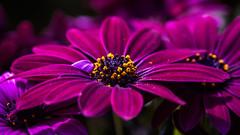 as soft as velvet - Samtweich (ralfkai41) Tags: garden velvet africandaisy pflanze planz blossom blüte garten blume samtnmacro flower nature natur makro afrikanischesgänseblümchen