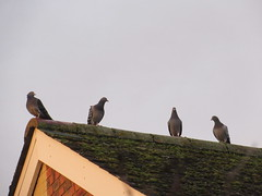 Tuesday, 10th, On the rooftop IMG_3620 (tomylees) Tags: essex morning winter december 2019 10th tuesday garden rooftop birds four pigeons