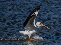 Brakes on !!! (wesleybarr1962) Tags: pelican americanwhitepelican whitepelican pelecanuserythrorhynchos