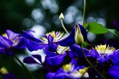 Clematis (prokhorov.victor) Tags: цветок цветы природа растения флора сад лето макро