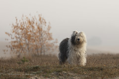 "Scarlett "" explore "" (dewollewei) Tags: old english sheepdog oldenglishsheepdog oldenglishsheepdogs oes bobtail dewollewei scarlett ausdemrotmaintal portrait"" portrait dog white dogs explore exploreddogs explored sheepdogs nature canon 5d4 tamron pet nopeople"