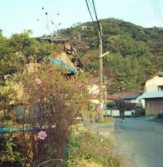 秋桜 (Sachie♪) Tags: rolleiflex28f kodakportra160 120film 6x6 shimanejapan