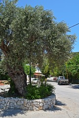 olive tree :) (green_lover (your COMMENTS are welcome!)) Tags: tree olive psinthos rhodes greece town trees street wall
