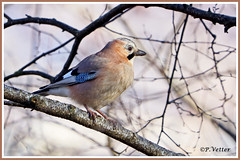 Geai des chênes 191204-04-P (paul.vetter) Tags: faune animaux oiseau geaideschênes garrulusglandarius eurasianjay arrendajoeuroasiático gaio eichelhäher corvidé