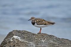 Ruddy Turnstone (philk_56) Tags: western australia perth bird woodman point coogee ruddy turnstone wader