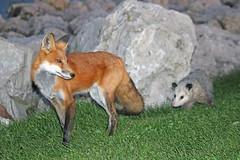 Friends (marylee.agnew) Tags: fox red vulpes opossum friends outdoor mammals wildlufe nature