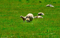 Scotland West Coast Inverkip a bleating lamb 10 June 2019 by Anne MacKay (Anne MacKay images of interest & wonder) Tags: scotland west coast inverkip bleating lamb sheep countryside 10 june 2019 picture by anne mackay