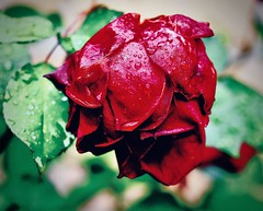 winterroos (delnaet) Tags: rose roos bloem flower fleur fantasticnature rosa blume flora flor flores rotrossorougerood macrodreams