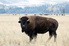 American Bison (Sandra Lipproß) Tags: bison wyoming grandtetonnationalpark wildlife usa buffalo americanbison outdoor nature