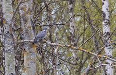 Sepelkyyhky (Columba palumbus), Common wood pigeon (G10A5288LR-7) (pohjoma) Tags: lintu sepelkyyhky columbapalumbus commonwoodpigeon canoneos7dmarkii canonef100400mmf4556lisiiusm finland wildanimal animal plumage birdwatching bird tree branch aspen
